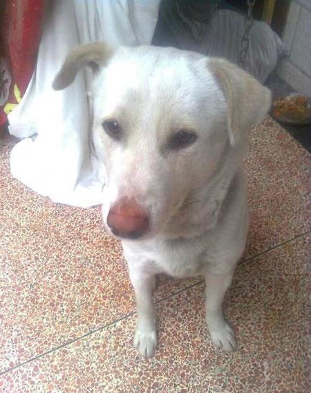 紧急寻找湖塘桥综合菜市场丢失一只大白狗,身上还带着狗链子!