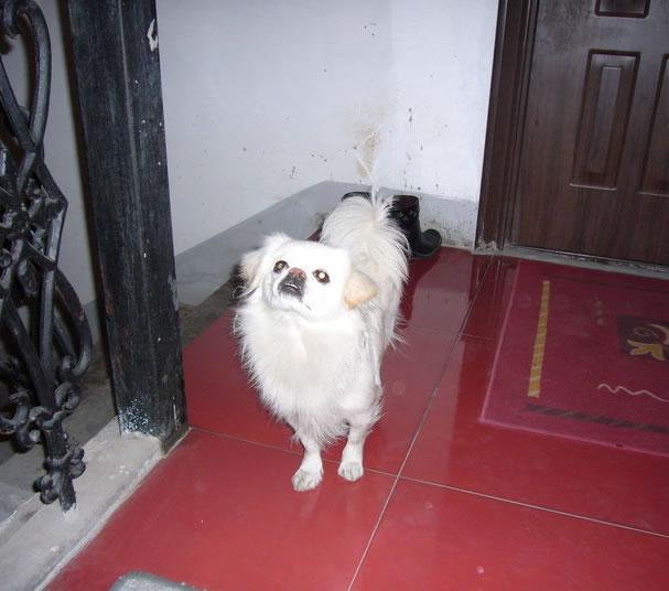 华都名城美景苑狗狗丢了。白色京巴