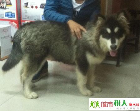 寻狗启事:丢失一条阿拉斯加雪橇犬