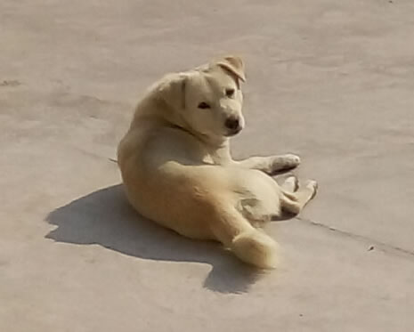 """找寻我家的小狗""""小不点""""(公狗,身材娇小,白色,被上偏黄色,双眼皮,长相可爱)"""